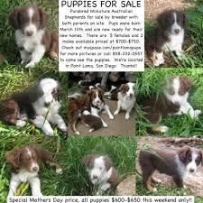 australian shepherd san diego miniature australian shepherd puppies best price pynprice com