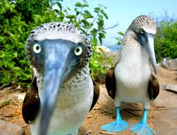 books about the color blue on galápagos revealing the blue footed booby u0027s true colors the