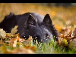 belgian sheepdog groenendael dog tricks owczarek belgijski groenendael belgian shepherd youtube