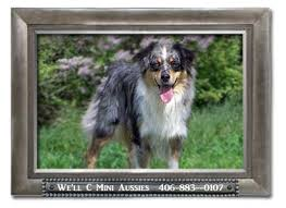 australian shepherd double coat coats and coat colors of the mini aussie well c mini aussies