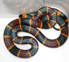 Where To Find Snakes In Your Backyard Venomous Creatures In New Mexico Nmpoisoncenter Unm Edu The