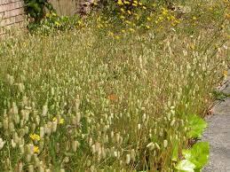 backyard garden with blue fescue ornamental grasses outdoor
