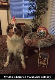 australian shepherd meme 25 best memes about happy birthday memes happy birthday memes