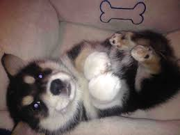 characteristics of a australian shepherd corgi husky mix information characteristics and pictures