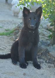 belgian shepherd nz october maya arrives in nz pandora kennels