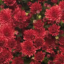 Picture Of Mums The Flowers - garden chrysanthemums grolink plant co