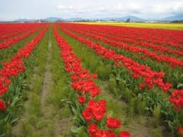 painting the tulip fields