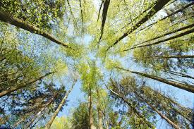 looking up into the trees in the forest stock photo picture and