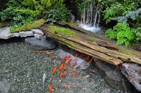 the butchart gardens koi pond in the spring prelude indoor garden
