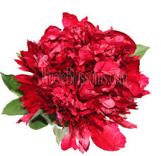 bulk peonies festiva maxima peony flowers at bulk