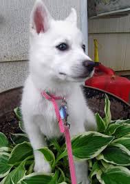 australian shepherd eskimo spitz mix juno the american eskimo mix puppies daily puppy
