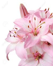 pink lilies bouquet of fresh pink lilies isolated on white stock photo