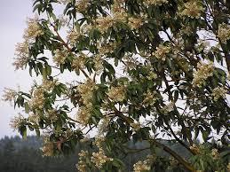 frangula californica wikipedia pacific madrone arbutus menziesii pacific northwest native tree