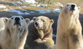 my polar bear friends and friends of polar bears a baby for berit