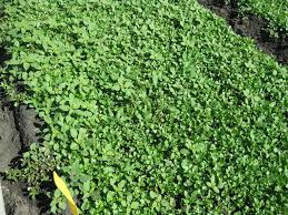 programs natural resources weeds and prometryn registered for use on cilantro uc weed science anr blogs