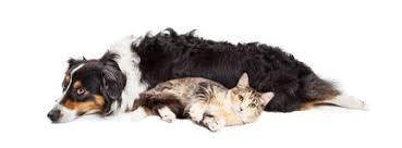 cat with australian shepherd australian shepherd dog and tabby cat stock photo image 46179832