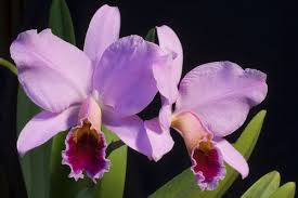 cattleya orchids cattleya species index cattleya source