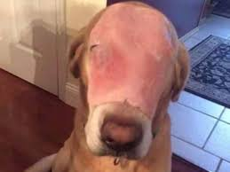 Stephen Dog Meme - dog with ham on its face tricks people on facebook into praying for