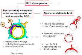ijms free full text blood brain barrier dysfunction and the