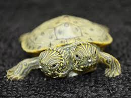 two headed turtle born in texas zoo cbs news
