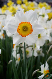 daffodil flower record dutchgrown