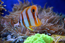 free images nature animal underwater pet blue fauna coral