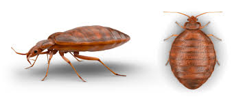 What Do A Bed Bug Look Like What Do Bed Bugs Look Like Expert Help Raid Brand Sc Johnson