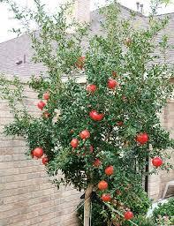 190 best pomegranates images on pomegranates fruit