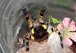 indian ornamental tarantula bite
