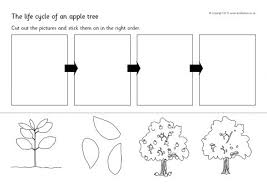 apple tree life cycle and growth teaching resources sparklebox