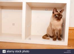 household furniture beautiful oriental cat patiently sitting inside household