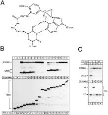 the rna u2013dna hybrid maintains the register of transcription by