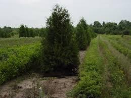 green white cedar conifer trees for sale cold farm