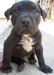 american pitbull terrier yavru huskies puppies huskies pinterest huskies puppies husky and