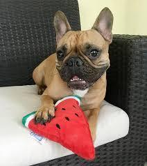 die besten 25 french bulldog weight ideen auf pinterest
