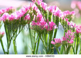 statice flowers statice flowers or also known as limonium sinuatum sea lavender
