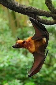 mammiferi volanti pipistrello della frutta cerca con venom