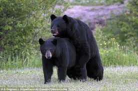 bears promiscuous seeking mate murder