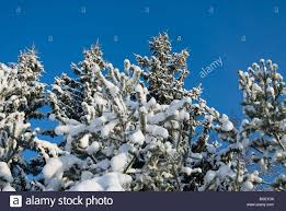 pine tree branches the white fluffy snow on blue sky