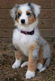 australian shepherd vs husky 17 best images about so sweet on pinterest