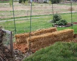 chicken manure vegetable garden straw bale gardens blog