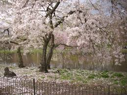 pink flowering small tree in park stock photo image of flower
