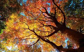 fall tree wallpaper wallpapers browse
