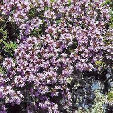 creeping thyme seeds thymus serpyllum ground cover seed