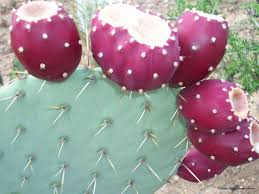 native plants of mexico native crops commercial uses for prickly pear and guayule the