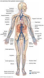 Anatomy Of Human Body Pdf Tag Arteries Of Human Body Pdf Archives Human Anatomy Charts