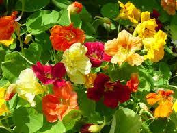 nasturtium flowers mix nasturtium seeds farmer seeds