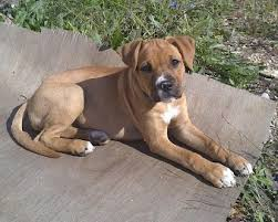 american pitbull terrier 9 months old 9 things you need to know before getting a pitbull boxer mix