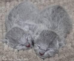 newborn kittens signed wychwood russian blue cats
