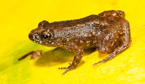 in pictures seven new species of night frogs discovered in the